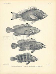 FRANCIS DAY - GROUPER print - (Serranus) 1899