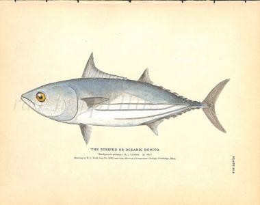 THE STRIPED BONITO OR OCEANIC BONITO print
