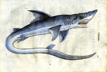 ALDROVANDI - THE THRESHER SHARK print