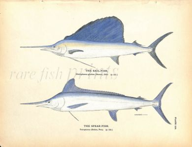 THE SAILFISH & SPEARFISH print