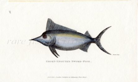 THE SHORT-SNOUTED SWORDFISH print