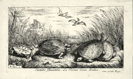 LA TORTUE EAU DOUCE - THE EUROPEAN POND TURTLE engraving