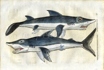 ALDROVANDI - THE TOPE AND GREAT WHITE SHARK print (Canis galeus, carcharias)
