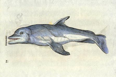 ALDROVANDI 1638 - THE DOLPHIN print  ( Delphinus alter)