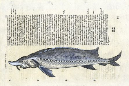 ALDROVANDI - THE RUSSIAN or GREAT STURGEON print (Attilus)