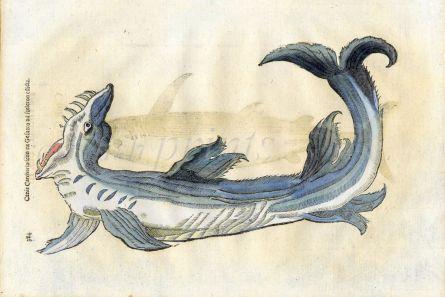 ALDROVANDI - THE GREAT WHITE SHARK print