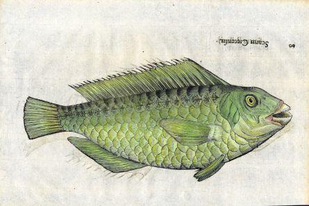 ALDROVANDI - THE MEDITERRANEAN PARROTFISH print (Scarus Cretensis)