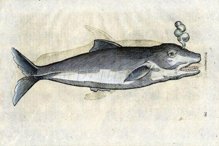 ALDROVANDI 1638 - THE DOLPHIN print (Delphinus prior)
