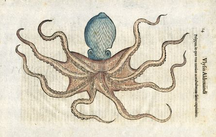 ULISSE ALDROVANDI  - THE OCTOPUS print 1642