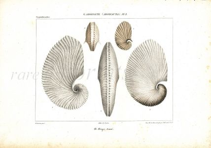 """FÉRUSSAC """"ARGONAUTE"""" (PAPER NAUTILUS) FOLIO SHELL ENGRAVING 1820 – 1851 FROM ONE OF THE MOST BEAUTIFUL AND RAREST CONCHOLOGY WORKS"""