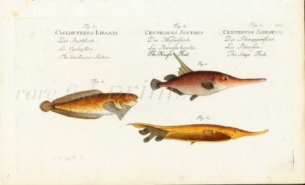 THE SUCKER, KNIFE & SNIPE FISH print (Liparis, Scutaus, Scolopax)