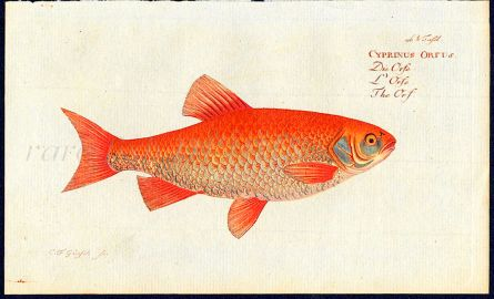 THE GOLDEN ORF print (Cyprinus orfus)