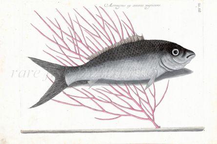 CATESBY - THE BONEFISH print (Mormyrus ex cinero nigricans) 1750