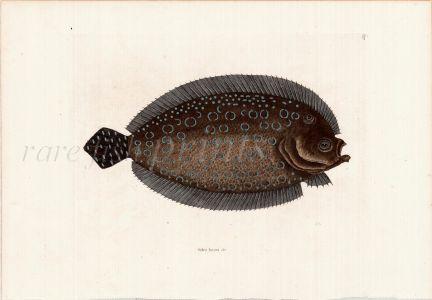 MARK CATESBY - THE SOLE fish print (Solea lunata) 1743