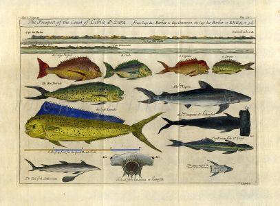 NIEUHOF/CHURCHILL VOYAGES & TRAVELS PL.536:  DORADO, SEA BREAM, HAMMERHEAD SHARK - JOHANNES KIP COPPERPLATE ENGRAVING 1744