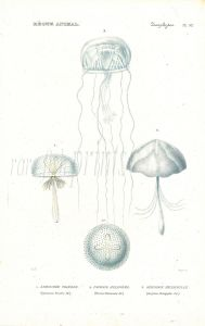 CUVIER: ZOOPHYTES: Pl. 52  Lymnoree, Favonia, Geryonia -  JELLYFISH print
