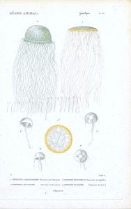 CUVIER: ZOOPHYTES: Pl. 53  Berenix, Geryonia -  JELLYFISH print