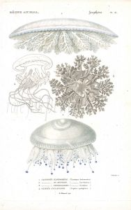 CUVIER: ZOOPHYTES: Pl. 51 Cassiopea, Cephea - JELLYFISH print