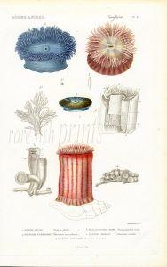 CUVIER:  ZOOPHYTES: Pl. 62 - SEA ANEMONE, SEA MUSHROOM, SEA MAT print