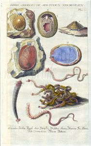 DEZALLIER - CONCHOLOGY: PL.1 MOLLUSCS - LIMPETS, ABALONE, TUSK, RINGWORMS shell print