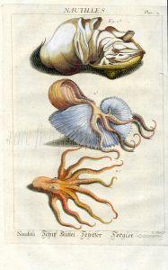 DEZALLIER - CONCHOLOGY: PL.2  NAUTILUS SHELL, SOFT BODY, PAPER NAUTILUS, OCTOPUS print
