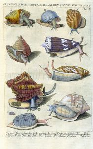 DEZALLIER - CONCHOLOGY: PL. 3 MARINE SNAILS - PAINTED TOP, CONE, PORCELAIN, MUREX shell print