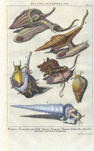 DEZALLIER - CONCHOLOGY: PL.4  MARINE SNAILS -  NORTHERN WHELK, MUREX, AUGER shell print