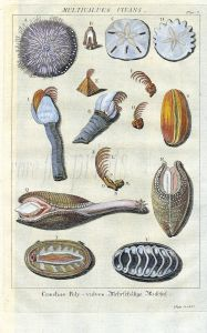 DEZALLIER - CONCHOLOGY: PL. 7 -  MOLLUSCS, SEA URCHINS, GOOSE BARNACLES, ANGEL WINGS shell print