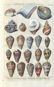 DEZALLIER - CONCHOLOGY: PL.10  VERY RARE SHELLS - UNIVALVES & CONES shell print