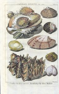 DEZALLIER - CONCHOLOGY: PL.12  TRUE & THORNY OYSTERS shell print