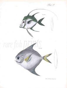 ARGYREIOSE & HARVEST FISH print