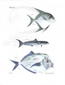 BLEPHARIS, CRABEATER, SHINER fish print
