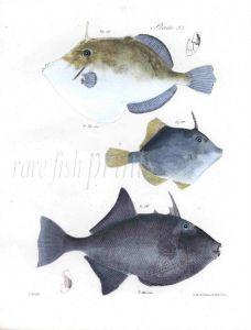 FILEFISH & DUSKY BALISTES fish print