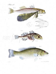 SWALLOW FLYING FISH, BULLHEAD, BASS fish print