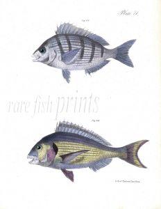 THE PORGEE & GILTHEAD fish print