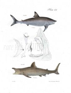 SHARKS -  PORBEAGLE & BASKING fish print