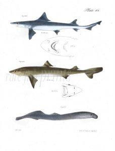 THE HOUNDFISH & DOGFISH, LAMPREY fish prints