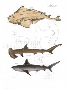 SHARKS - ANGEL, HAMMERHEAD, PORBEAGLE fish print