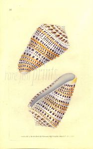DONOVAN - CONCHOLOGY - LONG SPOTTED CONE shell print