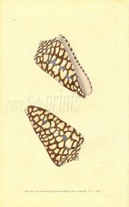 DONOVAN - CONCHOLOGY - MARBLED CONE shell print