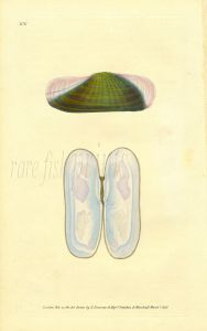 DONOVAN - CONCHOLOGY - BRASSEY-GREEN SOLEN shell print