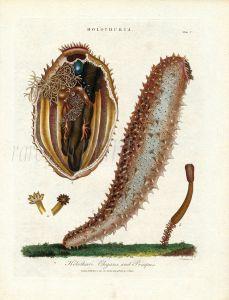 J. WILKS ENCY. LOND: MARINE LIFE: HOLUTHURIA  ELAGANS & PRIAPUS SEA CUCUMBER print