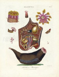 WILKS ENCY. LONDINENSIS - MARINE LIFE: HOLOTHURIA PHANTAPUS  - SEA CUCUMBER print
