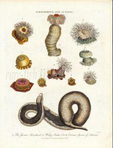 WILKS ENCY. LONDINENSIS - MARINE LIFE: ACROCHDUS AND ACTINIA - JAVA WART SNAKE & ACTINA SEA ANEMONES print