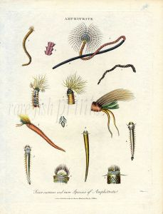 J. WILKES - ENCYCLOPAEDIA LONDINENSIS - MARINE LIFE: AMPHITRITE - MARINE WORMS print