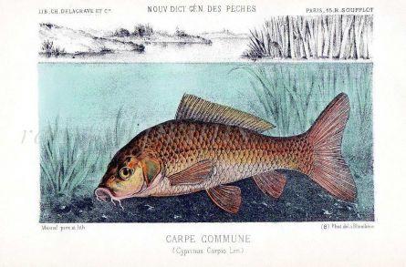 THE COMMON CARP print (Cyprinius Carpio)