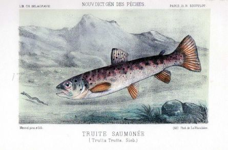 THE SALMON TROUT