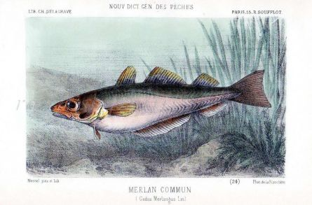 THE WHITING