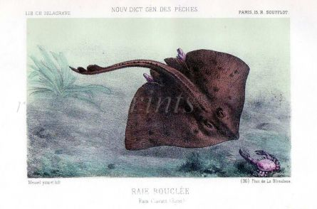 THE THORNBACK RAY