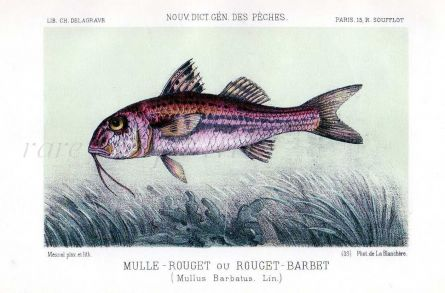 THE RED MULLET